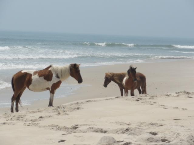 Click image for larger version  Name:Assateague 2.jpg Views:36 Size:25.7 KB ID:15740
