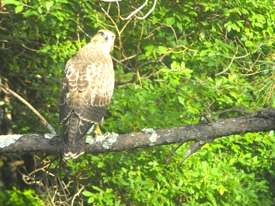 Click image for larger version  Name:small_hawk.jpg Views:96 Size:88.5 KB ID:1624