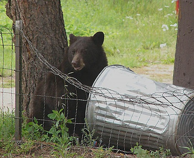 Click image for larger version  Name:Bear&GarbageCansm-P1070763.jpg Views:44 Size:95.2 KB ID:182415