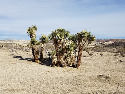 Click image for larger version  Name:Yucca-Family.jpg Views:71 Size:497.5 KB ID:192619