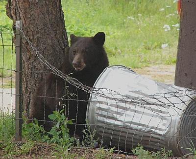 Click image for larger version  Name:Bear&GarbageCanP1070763.jpg Views:60 Size:112.4 KB ID:194845