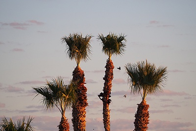 Click image for larger version  Name:ArabyPalmTrees-PA201270.jpg Views:28 Size:552.1 KB ID:201436