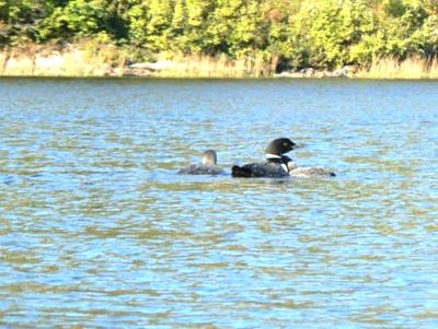 Click image for larger version  Name:Loon and Brood.jpg Views:54 Size:38.3 KB ID:3528