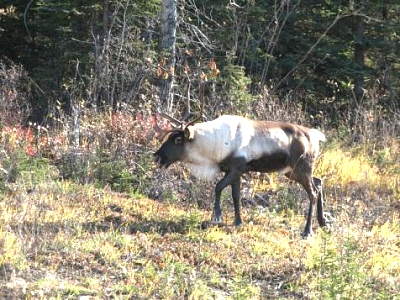 Click image for larger version  Name:Caribou.jpg Views:64 Size:51.6 KB ID:3646