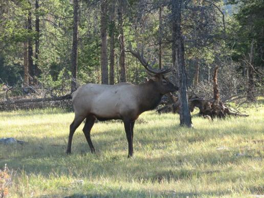 Click image for larger version  Name:Elk in Jasper.jpg Views:49 Size:51.3 KB ID:3647