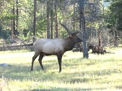Click image for larger version  Name:Elk in Jasper.jpg Views:73 Size:51.3 KB ID:3647