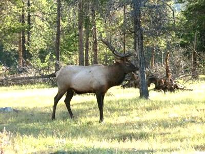 Click image for larger version  Name:A nice Elk in Jasper.jpg Views:107 Size:51.4 KB ID:4231