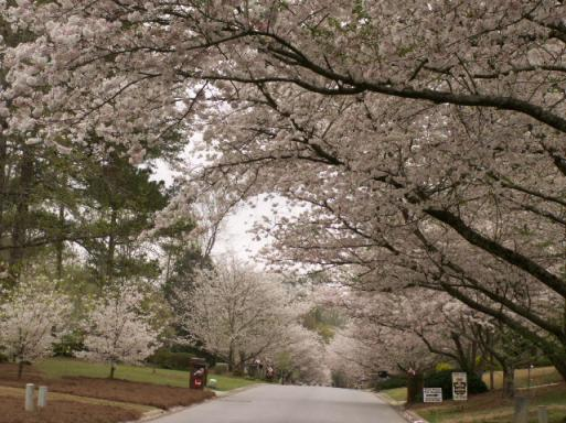 Click image for larger version  Name:CHERRY BLOSSOM 008.jpg Views:41 Size:51.3 KB ID:5021