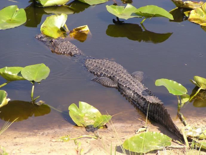 Click image for larger version  Name:Alligator.jpg Views:61 Size:55.9 KB ID:5029