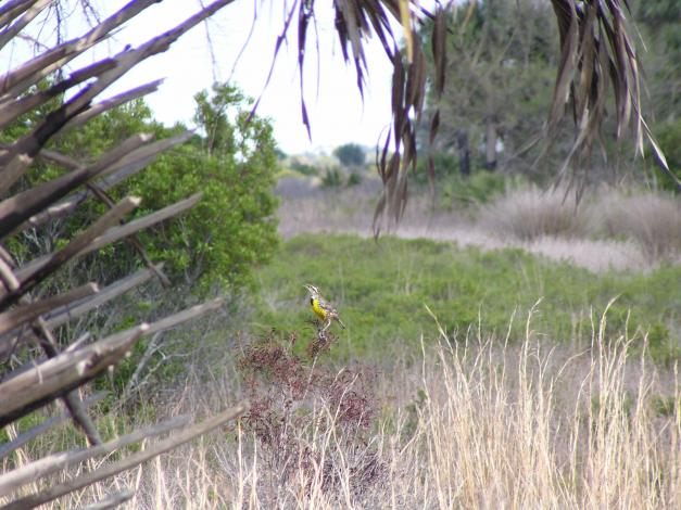 Click image for larger version  Name:Yellow Bird Perched.jpg Views:66 Size:59.5 KB ID:5030