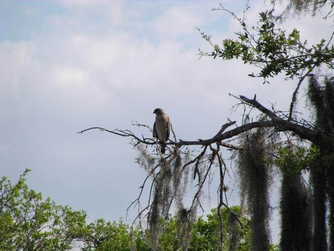 Click image for larger version  Name:Red Tailed Hawk on Branch 2.jpg Views:57 Size:56.5 KB ID:5032