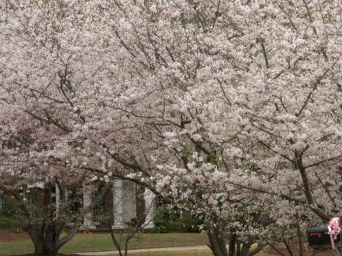 Click image for larger version  Name:CHERRY BLOSSOM 011.jpg Views:36 Size:52.1 KB ID:5042