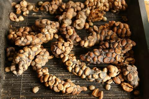 Click image for larger version  Name:PooCoffeeBeans.jpg Views:102 Size:36.3 KB ID:52239