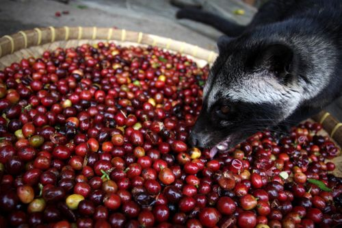 Click image for larger version  Name:Poocoffee-luwak.jpg Views:65 Size:43.7 KB ID:52240