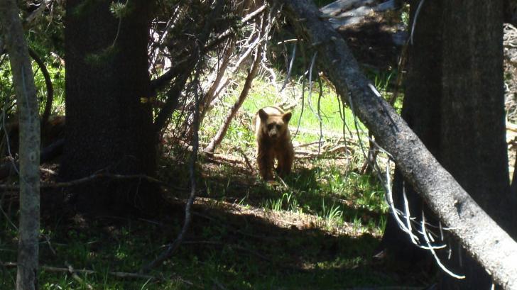 Click image for larger version  Name:YNP Bear b.jpg Views:71 Size:58.0 KB ID:7164