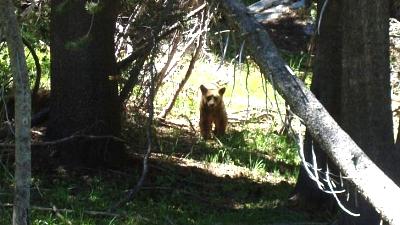 Click image for larger version  Name:YNP Bear b.jpg Views:80 Size:58.0 KB ID:7164