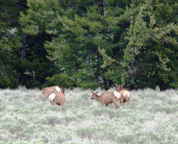 Click image for larger version  Name:6-6-05 Elk @ Grand Teton 5 2.20 pm.jpg Views:50 Size:61.3 KB ID:9346