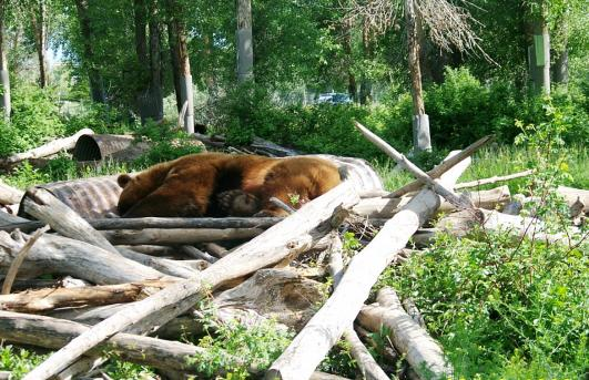 Click image for larger version  Name:Copy of 6-16-09 His bed doesn't look very comfortable Yellowstone Bear World, Idaho 014.jpg Views:64 Size:61.4 KB ID:9350