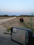 Buffalo during our truck cruise.