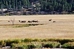ELK herd AT Rocky Mountain Park