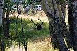 Elk in RMNP CO