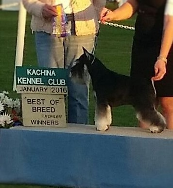 OUR TWO YR OLD MINI SCHNAUZER WINNING BEST OF BREED!